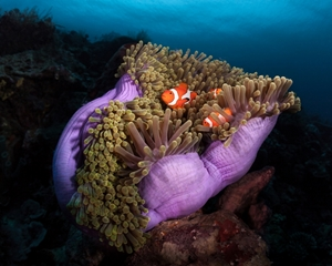 Bild på Clown Fish with Magnificent Anemone