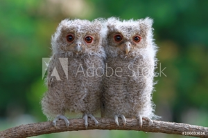 Bild på Two baby owls sitting on branch, Indonesia