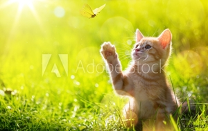 Bild på art Young cat / kitten hunting a ladybug with Back Lit
