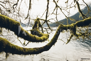 Bild på Moss covered alder tree branches, reaching across the water along the shores of Lake Crescent