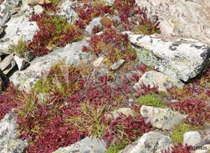 Bild på Alpine Tundra Groundcover in Autumn colors, Rocky Mountains, USA