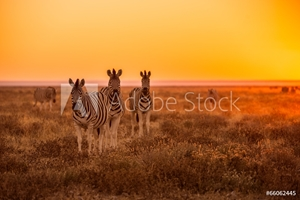 Bild på A herd of Zebra grazing at sunrise in Etosha, Namibia