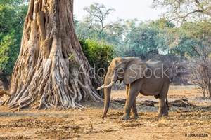 Bild på African Elephant (Loxodonta), walking past a large tree