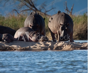 Bild på Hippos on the Zambezi River, Zimbabwe and Zambia