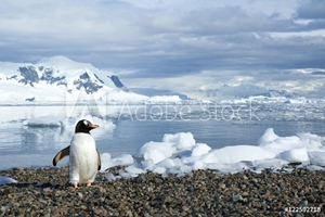 Bild på Adult gentoo penguin (Pygoscelis papua) returning from a foraging trip at sea, Neko Harbour, Antarctic Peninsula