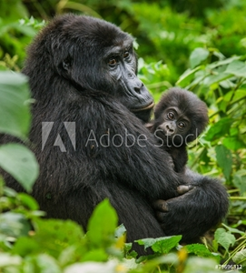 Bild på A female mountain gorilla with baby