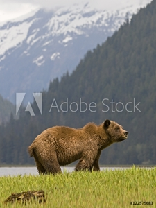 Bild på A male Grizzly Bear (Ursus arctos horribilis) surveys his surroundings while feeding on lush spring sedge grass, Khutzeymateen Grizzly Bear Sanctuary, North of Prince Rupert, British Columbia, Canada