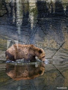 Bild på A male Grizzly bear (Ursus Arctos) drinks from the fresh water in the estuary at the Khutzeymateen Grizzly bear sanctuary, north of Prince Rupert, British Columbia, Canada