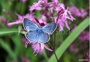 Bild på Beautiful blue butterfly on pink flowers