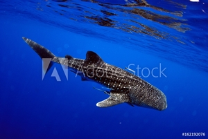 Bild på Giant sea whale shark Exciting for divers.