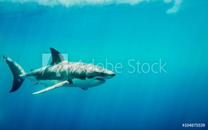 Bild på Great white shark swimming in the blue Pacific Ocean  at Guadalupe Island in Mexico under sun rays