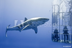 Bild på Cage-diving for great white sharks (Carcharodon carcharias), Isla Guadalupe, Baja, Mexico
