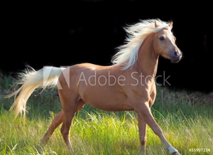 Bild på galoping palomino welsh pony at black background