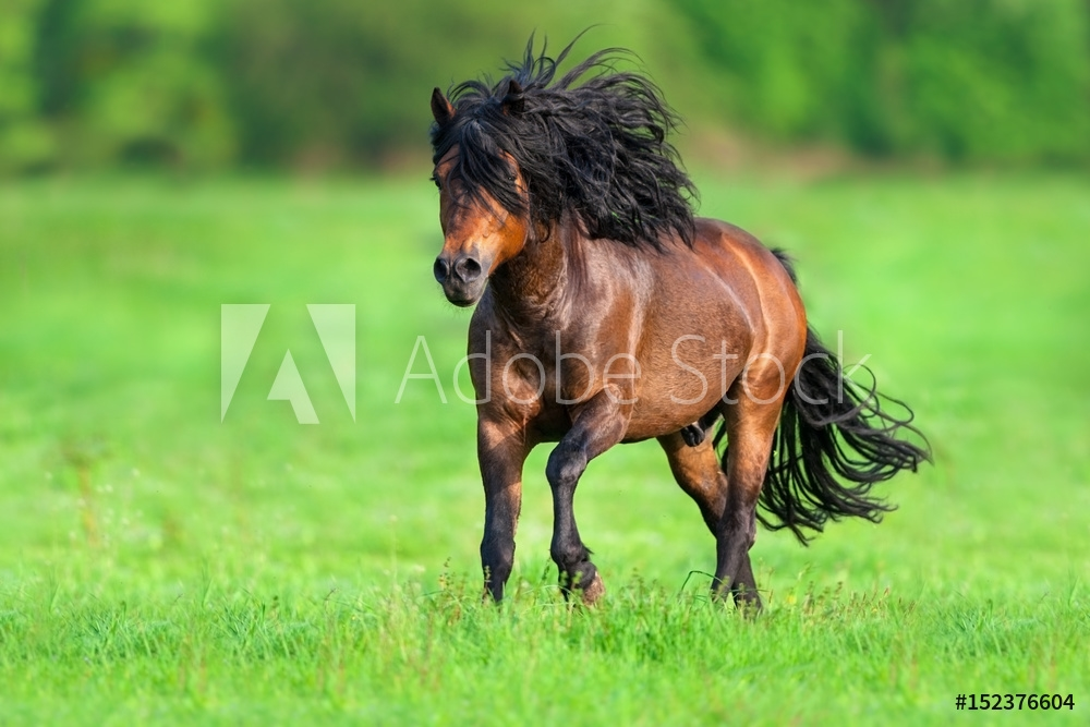 Bild på Beautiful bay stallion with long black mane run gallop on spring meadow