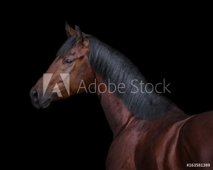 Bild på Bay horse on black background