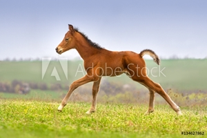 Bild på Beautiful bay foal run gallop on spring green pasture