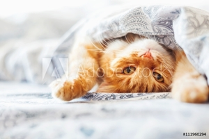 Bild på Cute ginger cat lying in bed under a blanket. Fluffy pet comfortably settled to sleep. Cozy home background with funny pet.