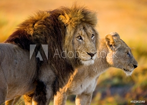 Bild på Lion and lioness in the savannah. Zambia.