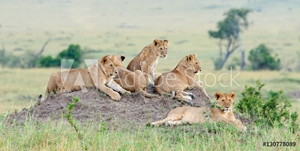 Bild på Group of young lions on the hill. The lion (Panthera leo nubica), known as the East African or Massai Lion
