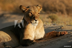 Bild på A lioness (Panthera leo) lying down in early morning light, Kalahari desert, South Africa.