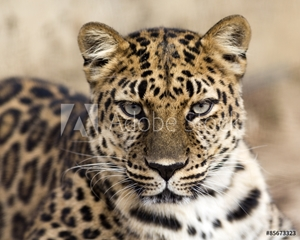 Bild på close up portrait of an Amur leopard making eye contact
