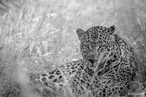 Bild på Big male Leopard laying in the high grass.