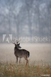 Bild på A White-tailed Deer Buck In Morning Fog