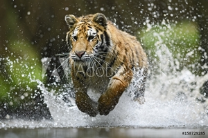 Bild på Siberian Tiger hunting in the water