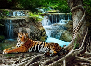 Bild på indochina tiger lying with relaxing under banyantree against bea