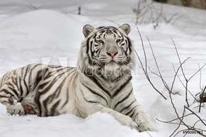 Bild på A white bengal tiger, calm lying on fresh snow.