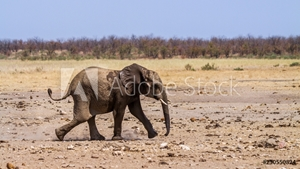 Bild på African bush elephant in Kruger National park, South Africa ; Specie Loxodonta africana family of Elephantidae