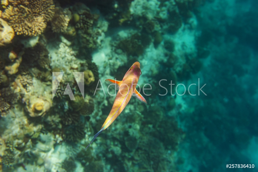 Bild på colorful fishes and corals, underwater life in Maldives, snorkeling and diving in exotic destination
