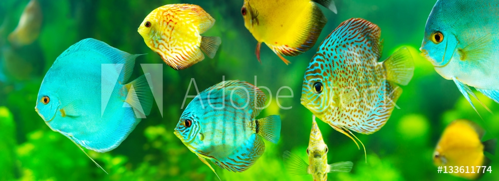 Bild på colorful tropical discus fish